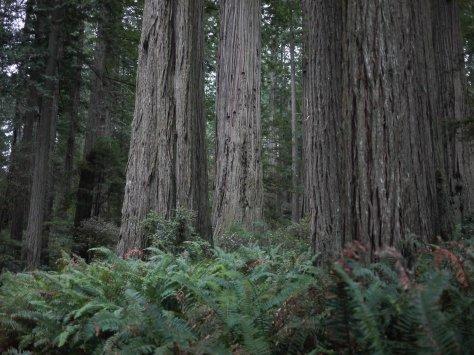 2014-10-30 Coastal Redwoods (62 of 77)